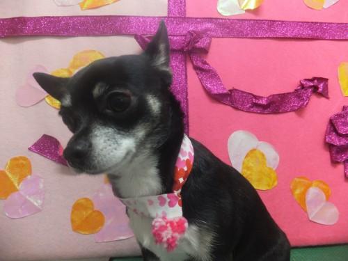 犬の美容室 ミント チワワ Peki Farm ペキファーム 徳島
