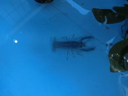 青ザリガニ ペキファーム 徳島 熱帯魚